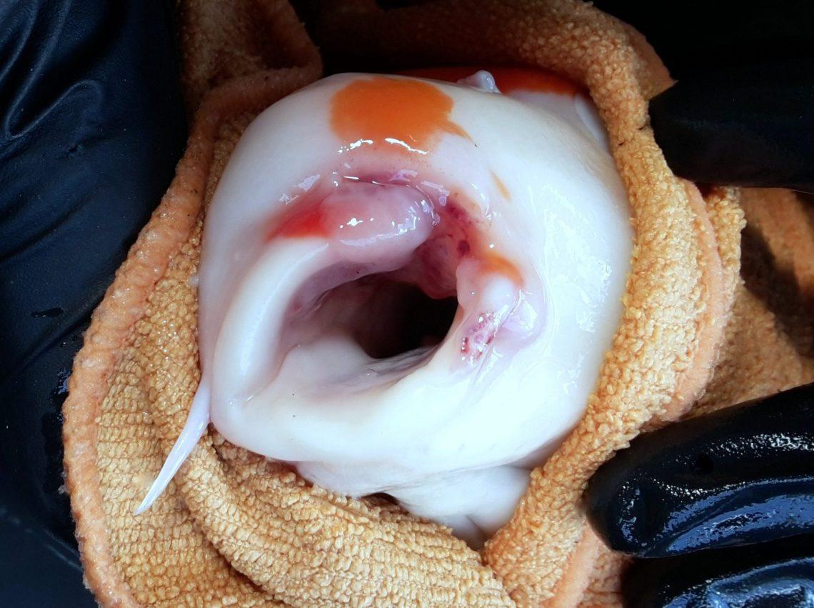 Adviesgroep Koi & vijver, Koi met bacteriële infectie aan de bek.