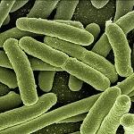 Adviesgroep Koi en vijver - Bacterie