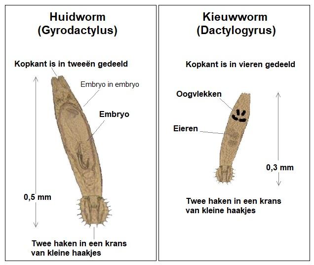 Adviesgroep Koi en vijver - Huidworm versus Kieuwworm