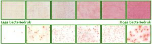 Adviesgroep koi en vijver - Bacteriedrukmeting en Totalcount voorbeeld