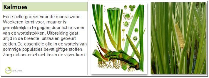 Een snelle groeier voor de moeraszone. Woekeren komt voor, maar er is gemakkelijk in te grijpen door lichte snoei van de worterstokken. Uitbreiding gaat altijd in de breedte, uitzaaien gebeurt zelden. De essentiele olie in de wortels van sommige populaties bevat giftige stoffen. Zorg dat snoeisel niet los in de vijver komt.