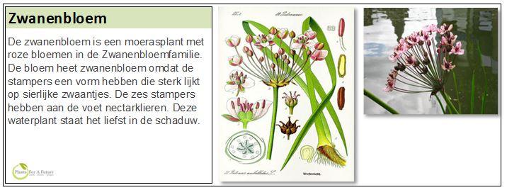 De zwanenbloem is een moerasplant met roze bloemen in de Zwanenbloemfamilie. De bloem heet zwanenbloem omdat de stampers een vorm hebben die sterk lijkt op sierlijke zwaantjes. De zes stampers hebben aan de voet nectarklieren. Deze waterplant staat het liefst in de schaduw.