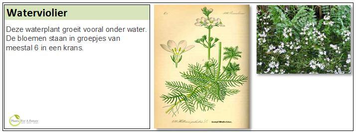 Deze waterplant groeit vooral onder water. De bloemen staan in groepjes van meestal 6 in een krans.