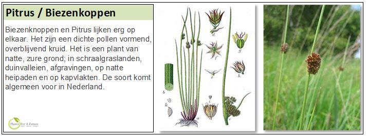Biezenknoppen en Pitrus lijken erg op elkaar. Het zijn een dichte pollen vormend, overblijvend kruid. Het is een plant van natte, zure grond; in schraalgraslanden, duinvalleien, afgravingen, op natte heipaden en op kapvlakten. De soort komt algemeen voor in Nederland.