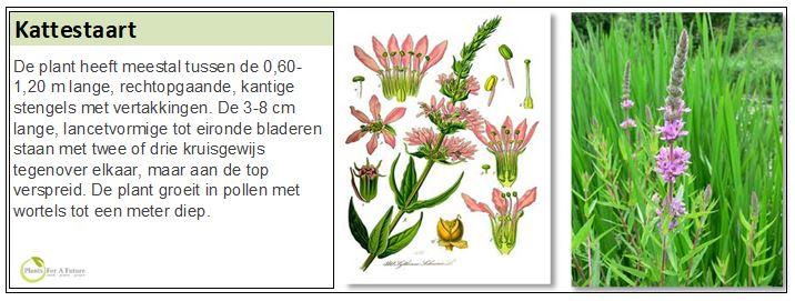 De plant heeft meestal tussen de 0,60-1,20 m lange, rechtopgaande, kantige stengels met vertakkingen. De 3-8 cm lange, lancetvormige tot eironde bladeren staan met twee of drie kruisgewijs tegenover elkaar, maar aan de top verspreid. De plant groeit in pollen met wortels tot een meter diep.